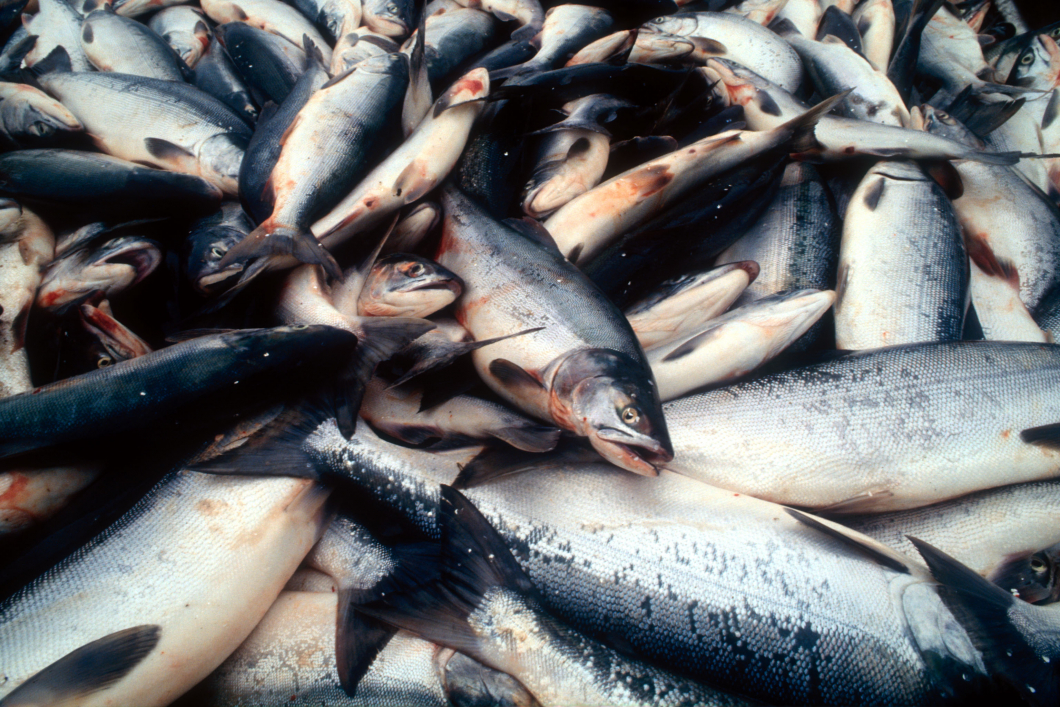 Fisk bra för hjärtat – trots kvicksilverinnehåll