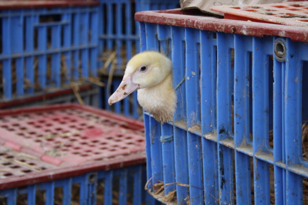Markant ökning av fågelinfluensa i Kina