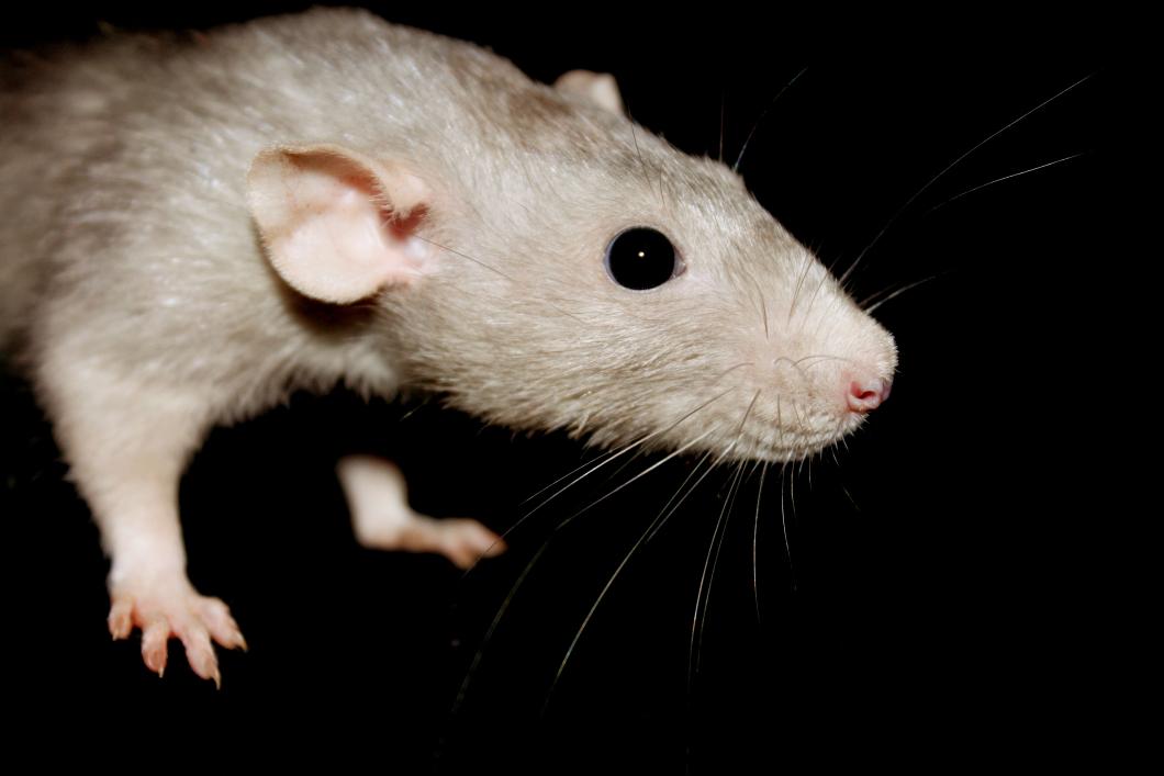 Svenska råttor bär på farlig smitta