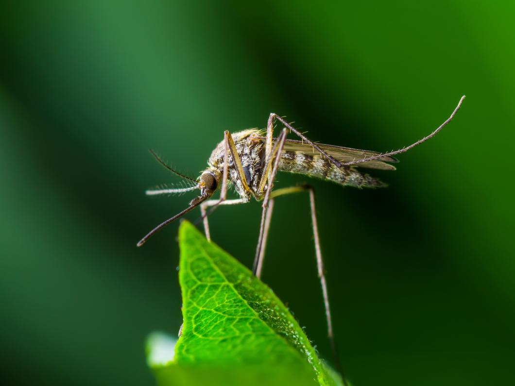 Malaria svårare att utrota än vad forskarna trott