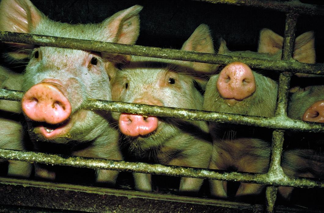 Antibiotika i djurfodret driver på resistens