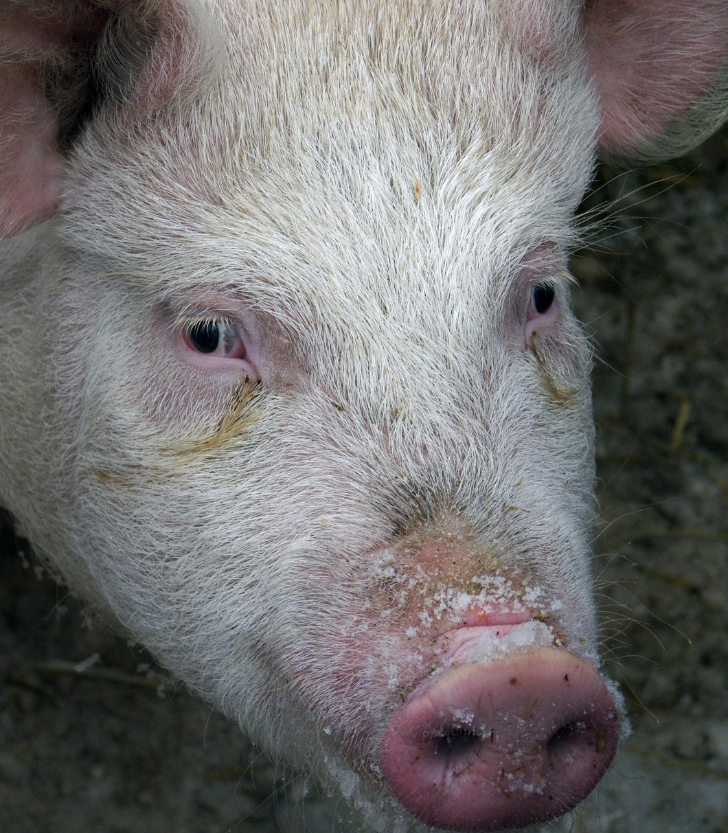 Fyra danskar har dött av resistent grisbakterie