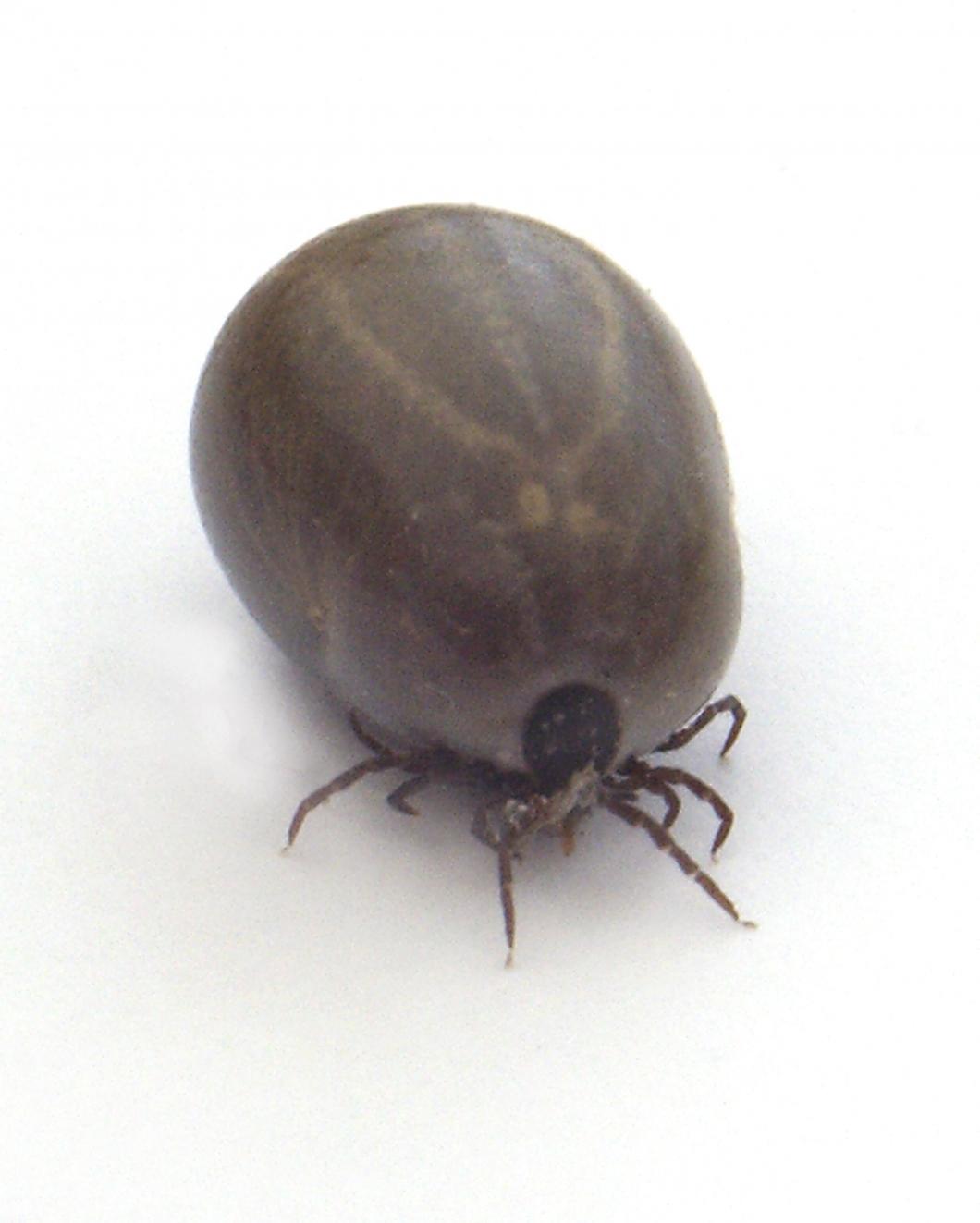En av tio fästingbitna fick tyfusliknande smitta